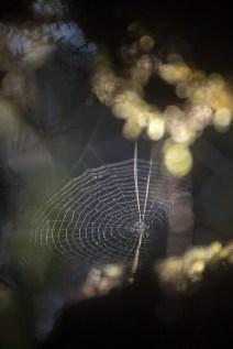 Les fils de cette toile d'araignée recueille l'humidité de la forêt tropicale malgache