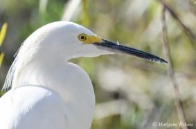 Gatorland: Snowy Egret