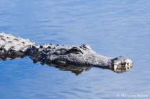 Gatorland: American Alligator
