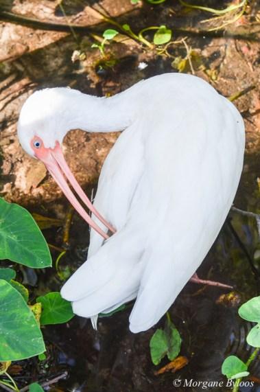 Gatorland: American White Ibis