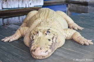 Gatorland: Leucistic Alligator