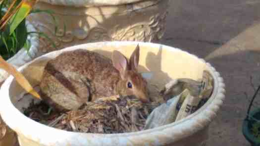 Brown rabbit laying down in a large planter