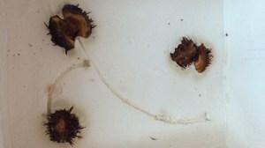 gardenpanels-chestnutsdye