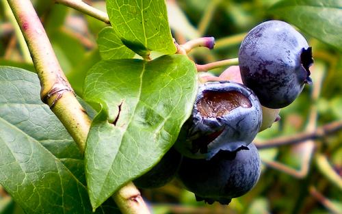 blueberrywars-2