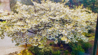 ornamental cherries blooming