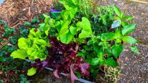 buying veggies for the backyard