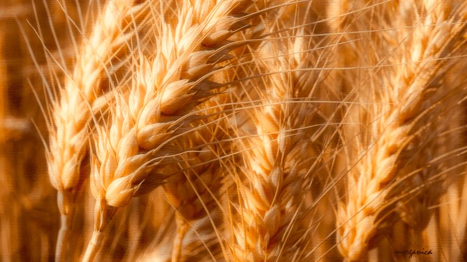 wheatglow