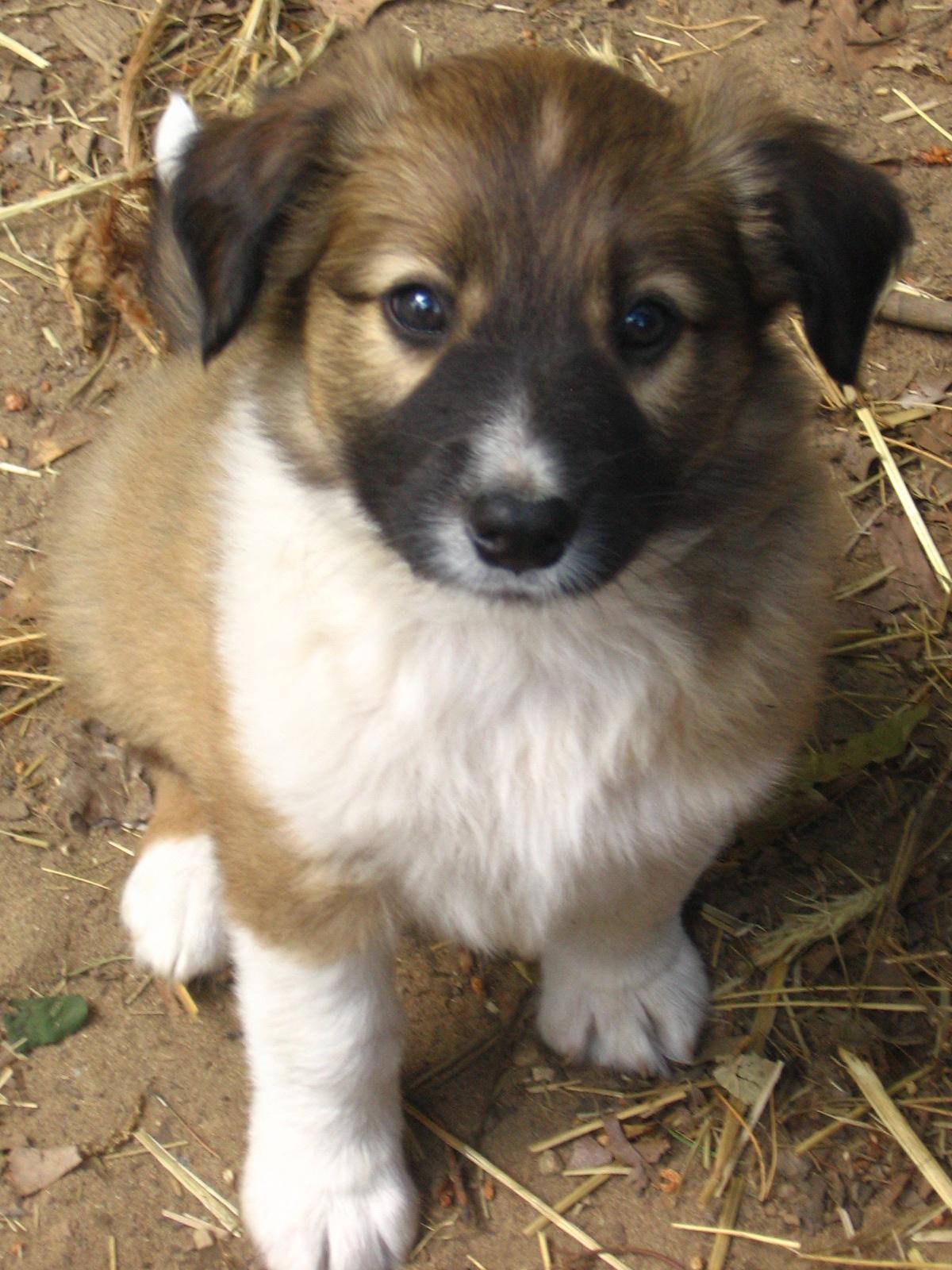 English Shepherd Puppy Page   Morganic Farm