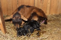 Buckling right after birth
