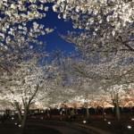 今が見頃 !! 門真市さくら広場の夜桜ライトアップ(パナソニック・ミュージアム)