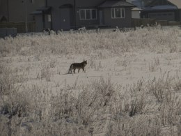 A coyote crosses the open field near the cemetery.