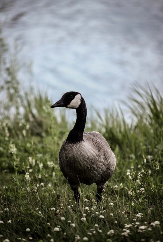 web-goose