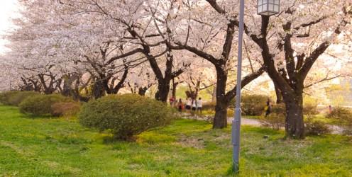 北上展勝地の桜1