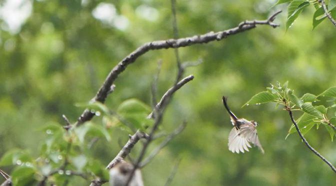 飛ぶ鳥を撮れるようになった