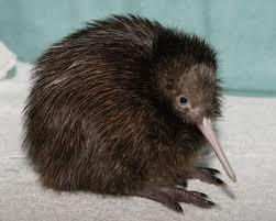 El kiwi, esta vez el pájaro. (3/5)