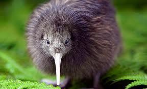El kiwi, esta vez el pájaro. (5/5)