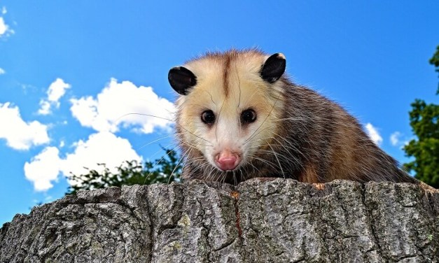 VIDEO: Latter-day Saint Nursery children in North Carolina saved from a 'possum in their room