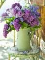 7d1b5-lilacs