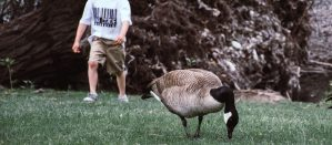Child walking up behind a duck pecking at grass