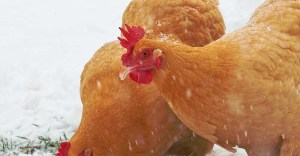 11 Best Chicken Breeds for Meat (and Dual Purpose) to Raise in Your Backyard