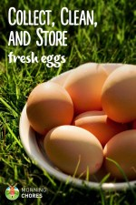 How to Collect, Clean, and Store Fresh Chicken Eggs so They're Safe to Eat