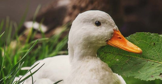 12 Things You Need to Know Before Getting Your First Ducks
