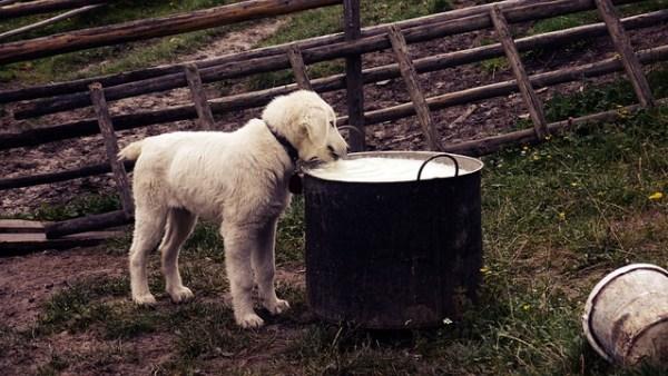 Dog drinking raw milk