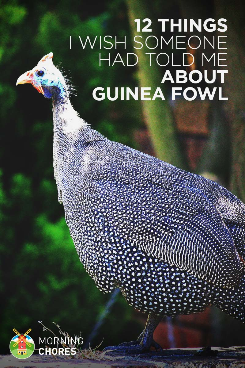 12 Things About Guinea Fowl I Wish Someone Had Told Me
