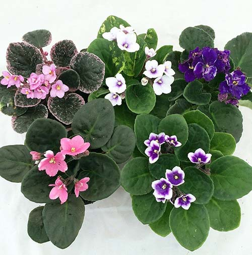 they have dark green leaves and the flowers are usually purple however at times they can be blue or white as well