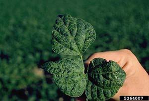 Mosaic Virus Green Beans