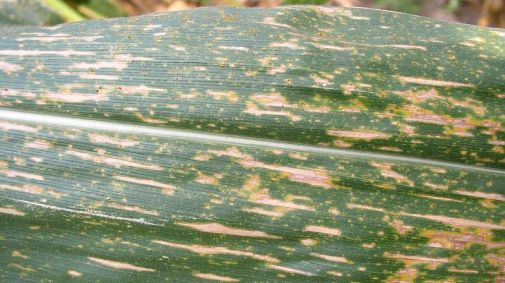 southern corn leaf blight