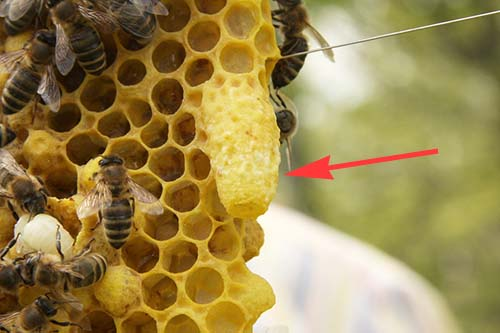 Swarm queen bee cell