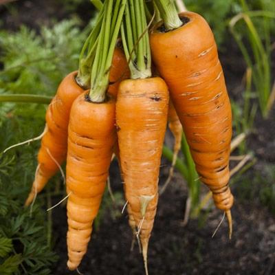 danver carrots