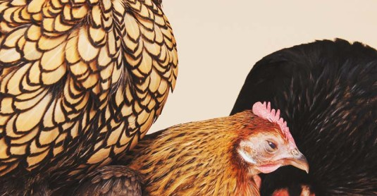 Molting Chickens: Why Do Chickens Molt and How You Can Help Them