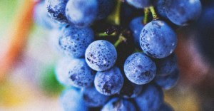 The Complete Guide to Planting & Growing Grapes Successfully