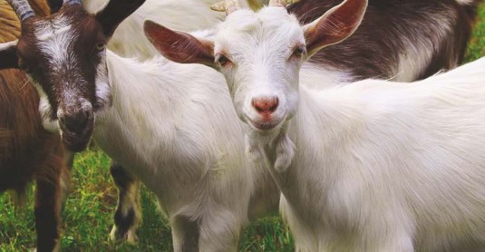 How to Trim a Goat's Hooves in 5 Simple Steps to Prevent Infection