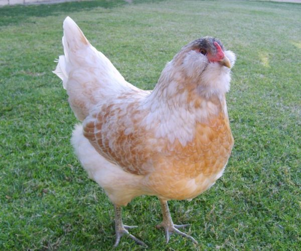 Chicken Breeds That Lay Blue, Green, Pink, White, And -5306