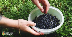 9 Simple Steps to Create a Booming U-Pick Blueberries Business