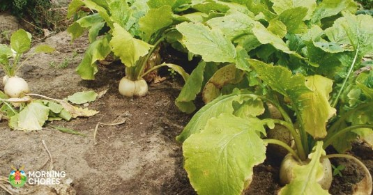 5 Simple Steps to Harvesting Turnip Greens (and 5 Recipes to Try)