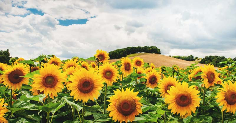 Growing Sunflowers Varieties Planting Guide Care Problems And Harvest