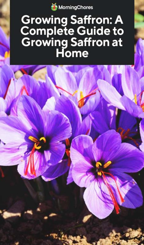 Growing Saffron: A Complete Guide to Planting and Taking Care of ...