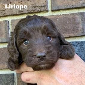 Liriope 4 Weeks