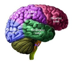Picture of the human brain