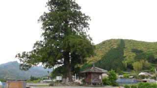 柴尾の一本杉(高知県越知町)