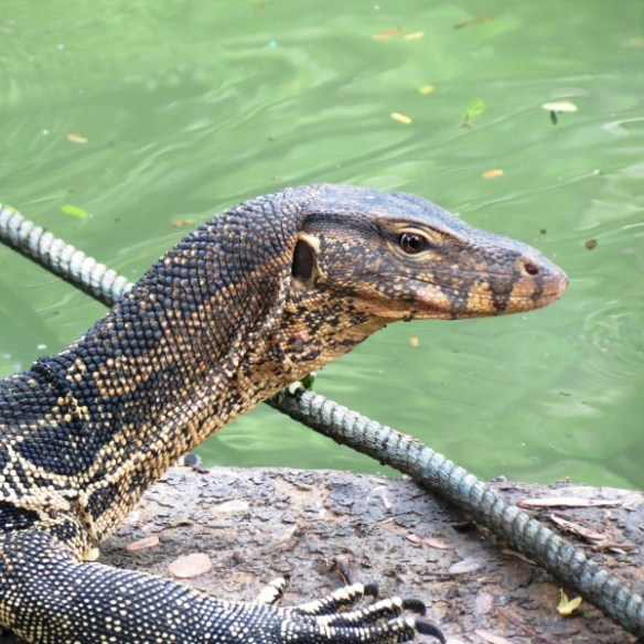 Water Monitor in Lumpini Park, Bangkok