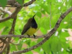 Olive-Backed Sunbird (Nectarinia jugularis), Bangkok