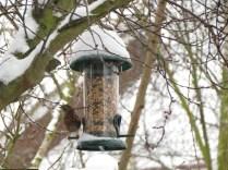 Dunnock (Hedge Sparrow)