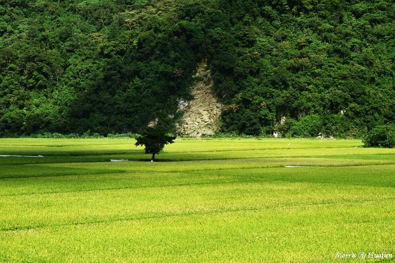 花東縱谷的稻香味 (42)