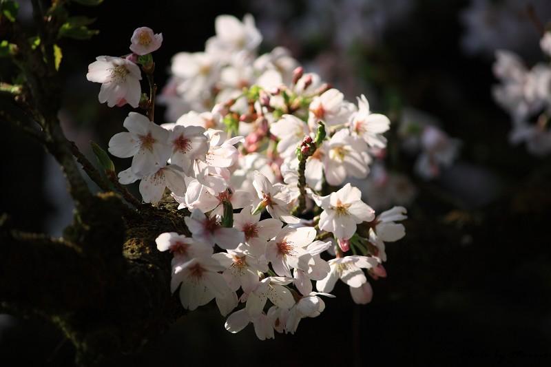 2010阿里山櫻花季 (32)