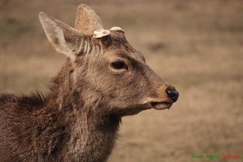 奈良 鹿寄 (54)